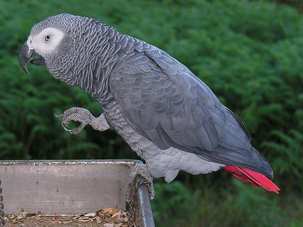 """Graupapagei - So Soll der """"First Papagei"""" Roma ausgesehen haben © Creative Commons"""